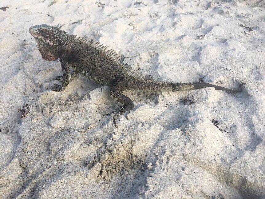 St John Wildlife - Iguana on the Beach